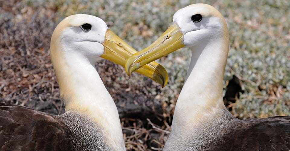 Waved albatross, Española, Galapagos Islands, Ecuador