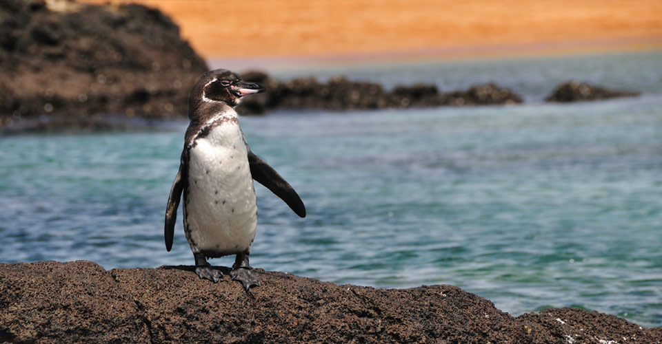 Galapagos penguin, Galapagos Islands, Ecuador