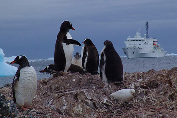 Gentoo penguin colony, Akademik Ioffe, Antarctica journey