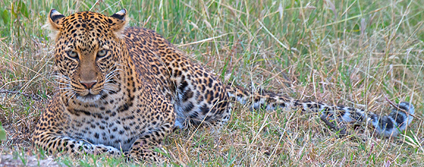 Leopard keeping watch in Kenya.