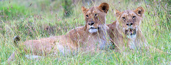 Lion laying in green grass in Kenya.