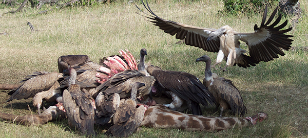 Vultures feasting on a giraffe in Kenya.