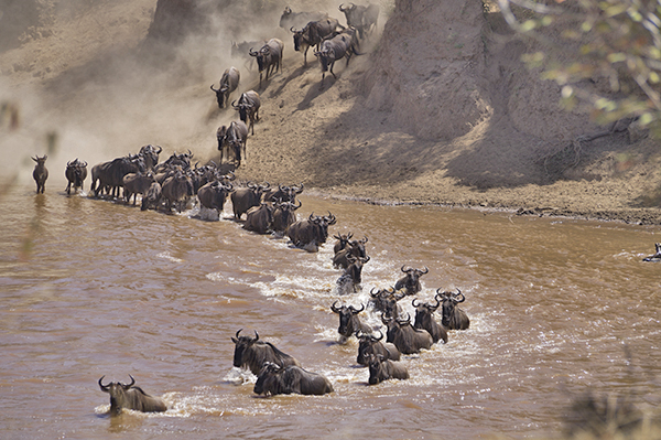 Wildebeest making a water crossing