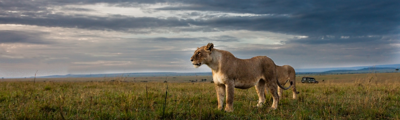 Lion with stormy sky in Africa.