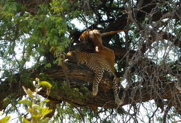 Sleeping leopard in tree after a kill.