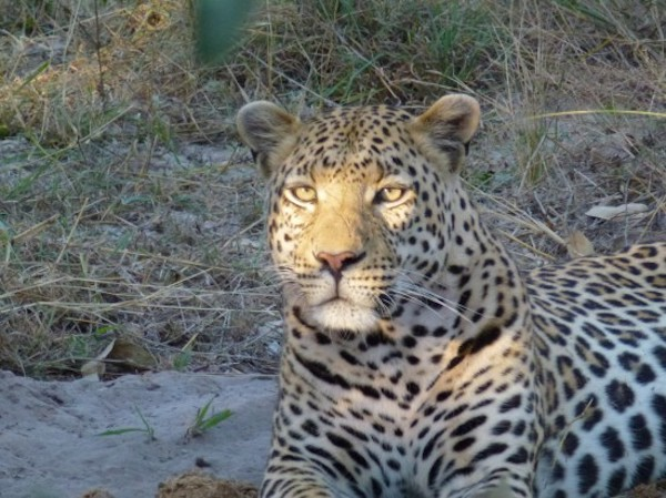 Leopard lounging in Botswana