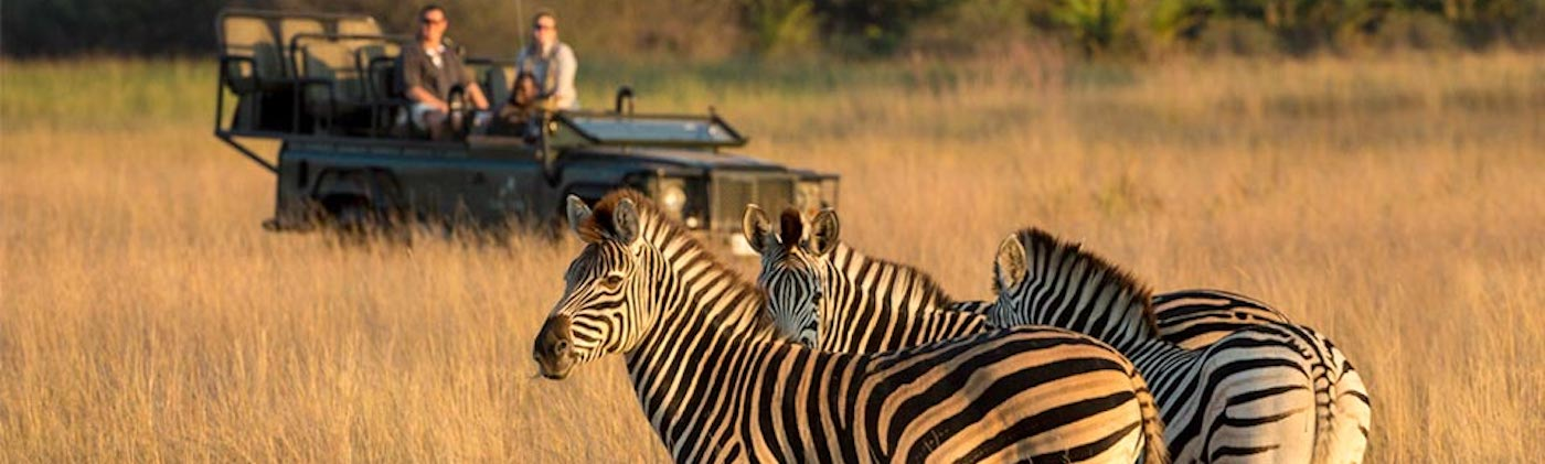 Zebra with travelers.