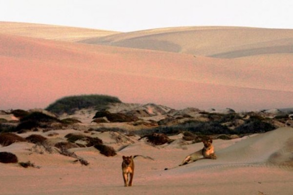 Desert adapted lions in Namibia