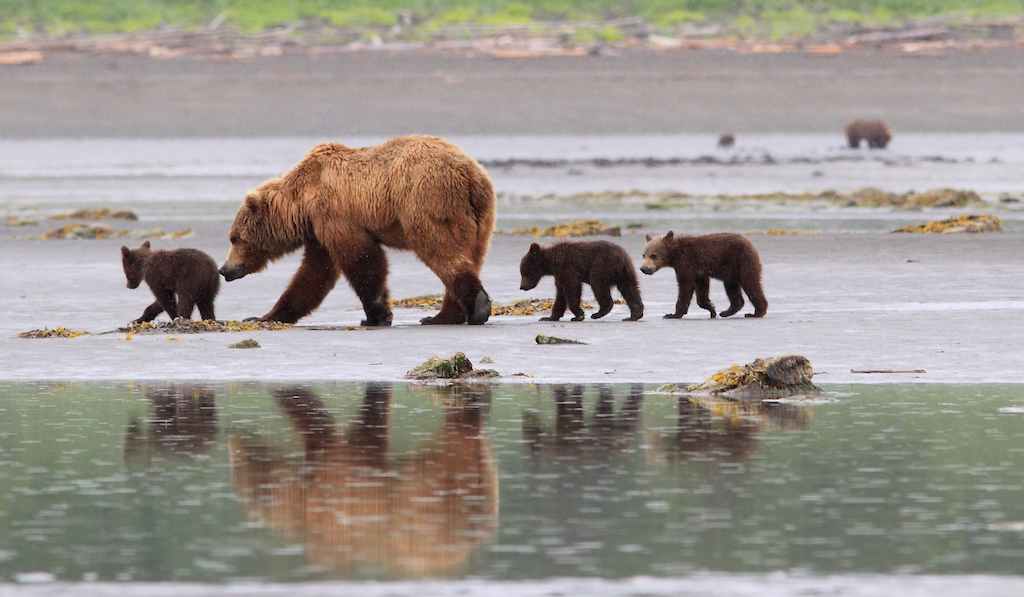 Mother with cub on the tidal flats.