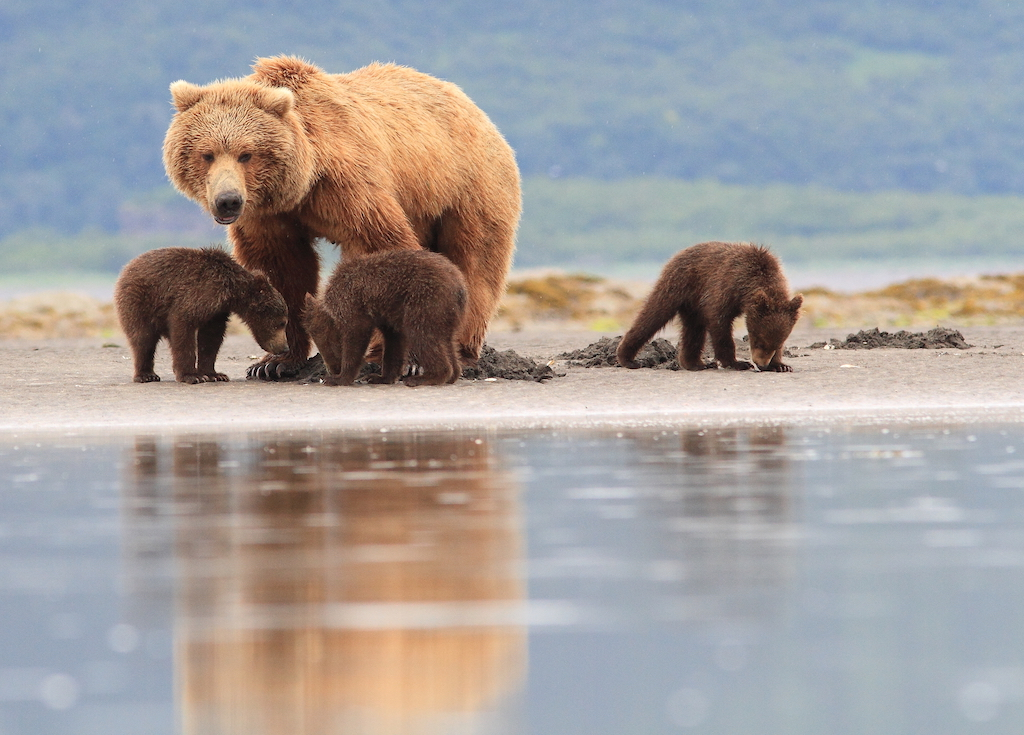 Brown bears clamming with cubs.