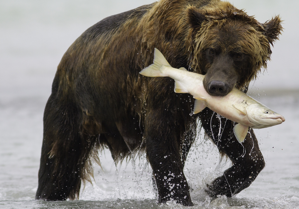 Brown bear with salmon.