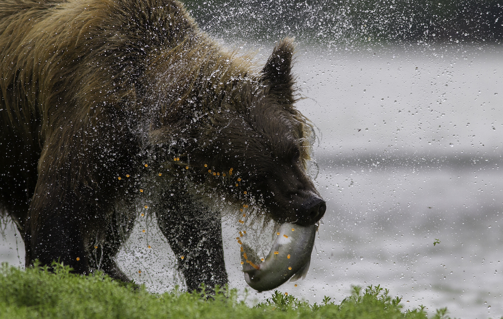 Bear with salmon in Alaska.