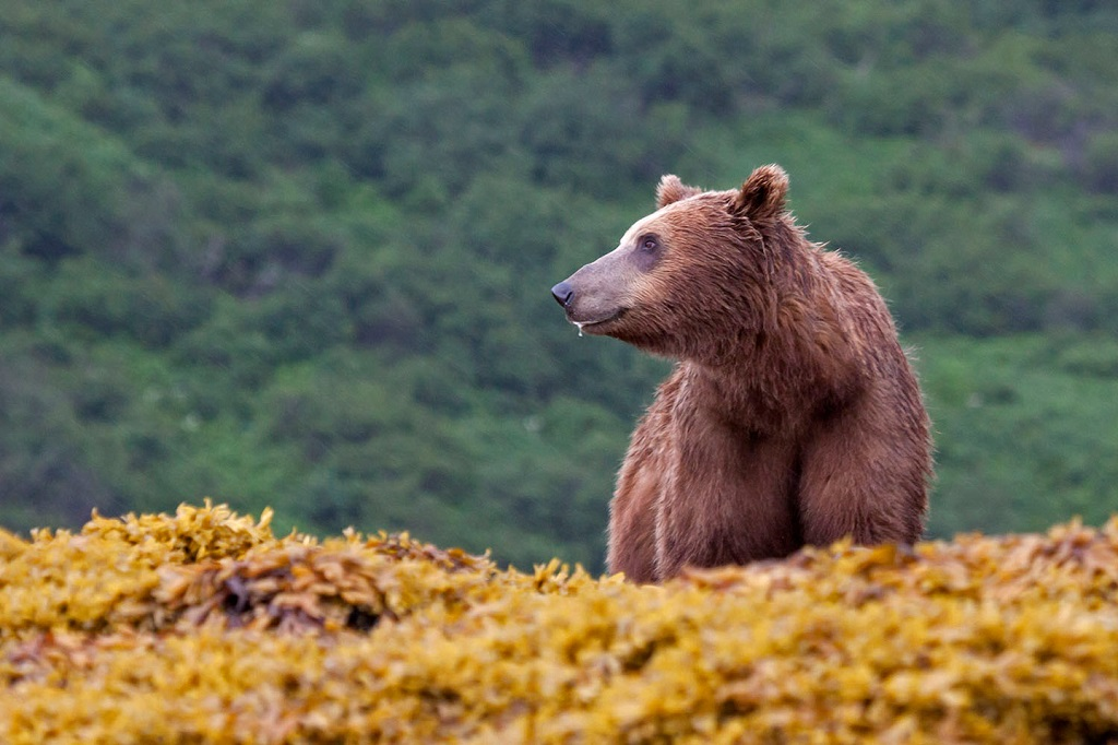 Alaska brown bear.