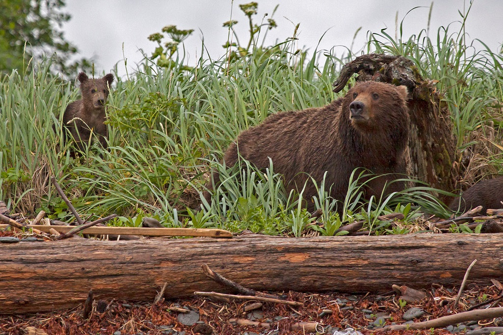 Alaska brown bear and cub.