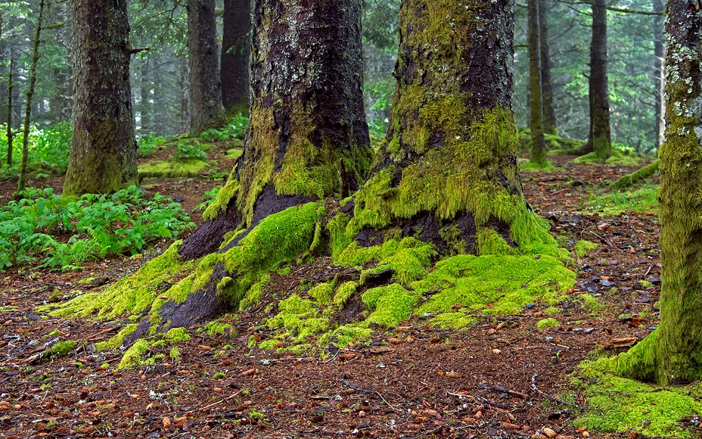 Mossy trees in Alaska