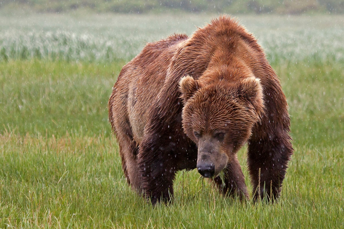 Alaska brown bear in the rain.