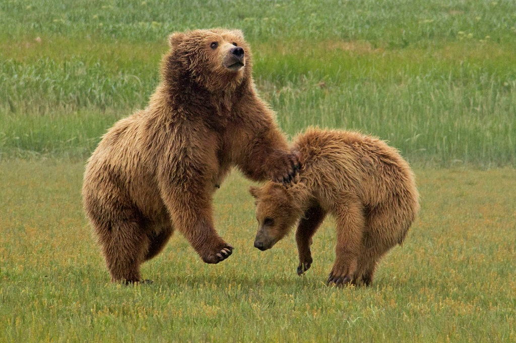 Brown bears in Alaska sparring.