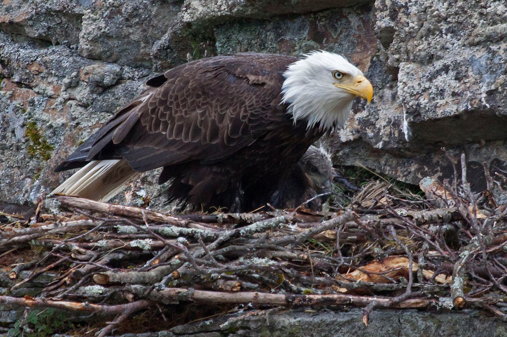Bald eagle in Alaska nest.