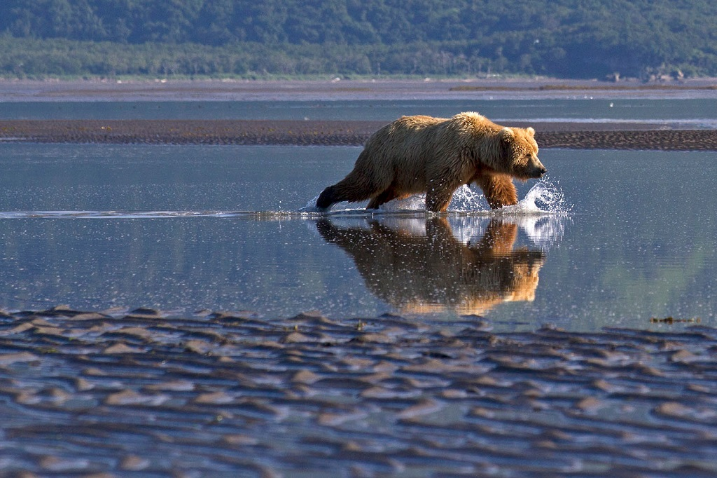 Alaska's coastal brown bears often search for clams on the tidal flats.