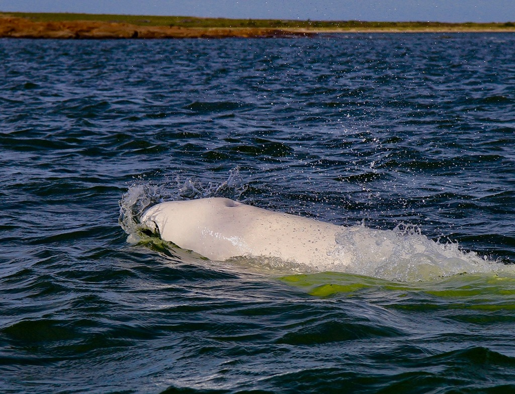 Beluga whale in Churchill.