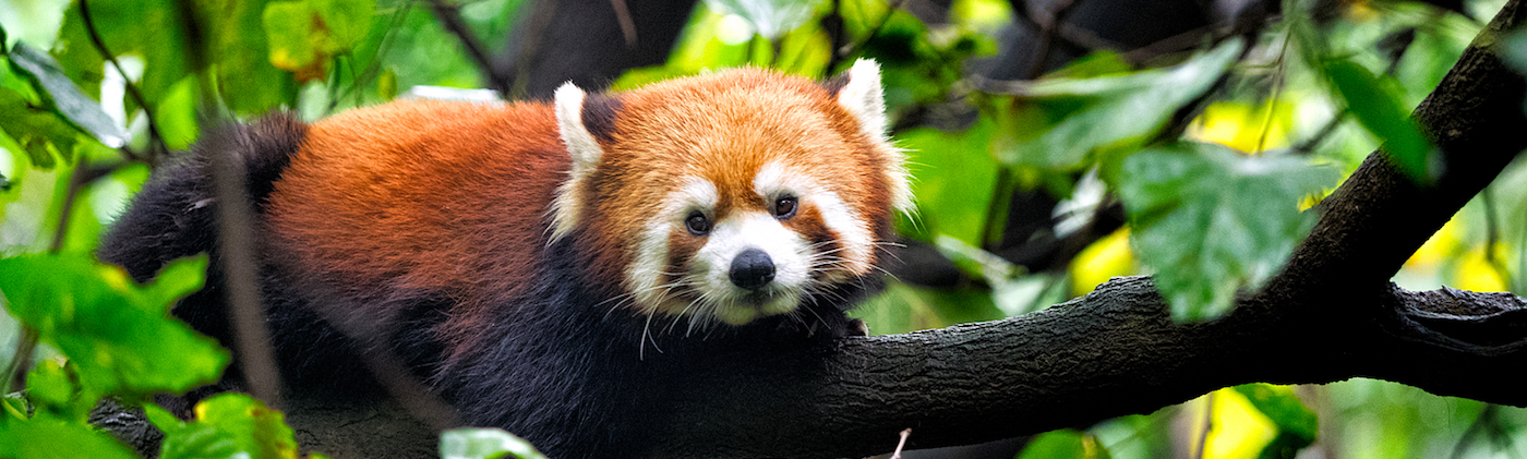 Red Panda Facts China Wildlife Guide