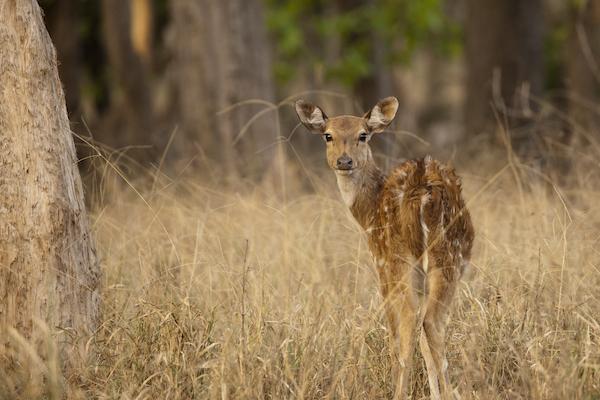 Baby deer in India.
