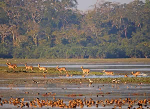 Swamp deer in India.