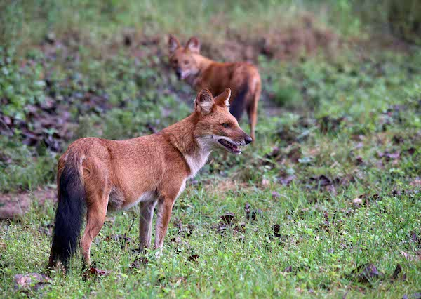 The Asiatic wild dog in India.