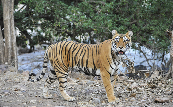 Tiger in India.