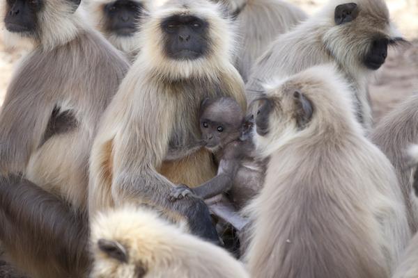 Common langur nursing baby in India.