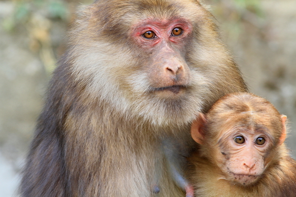 Rhesus macaque with baby.