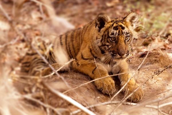 Tiger cub in India.