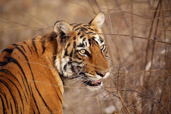 Indian tigress.