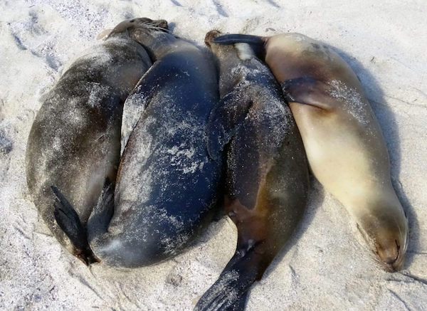 Spooning after the binge: sea lions