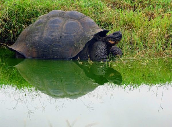 Reflecting on the Galapagos: giant tortoise