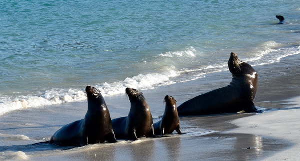 Galapagos sea lions on the beach.