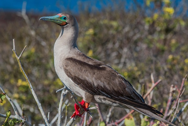 Red footed booby on a branch.