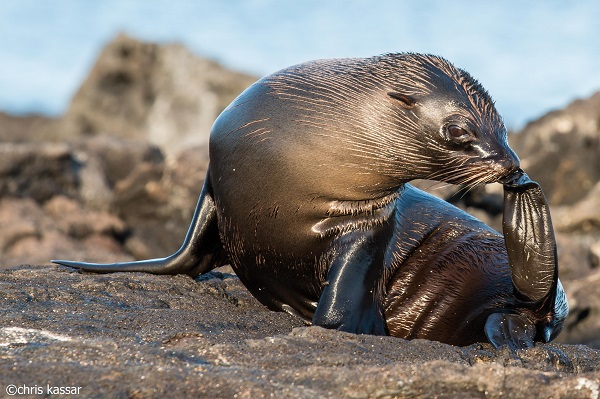 Fur seal stretching his flipper in the Galapagos.