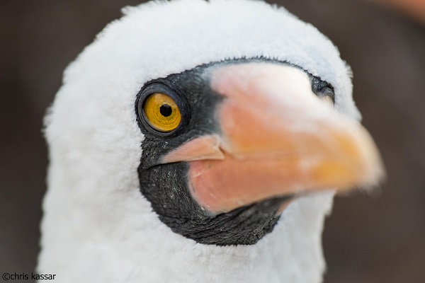 Nazca booby in the Galapagos.
