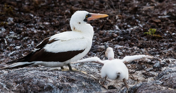 Bird with chick in the Galapagos.