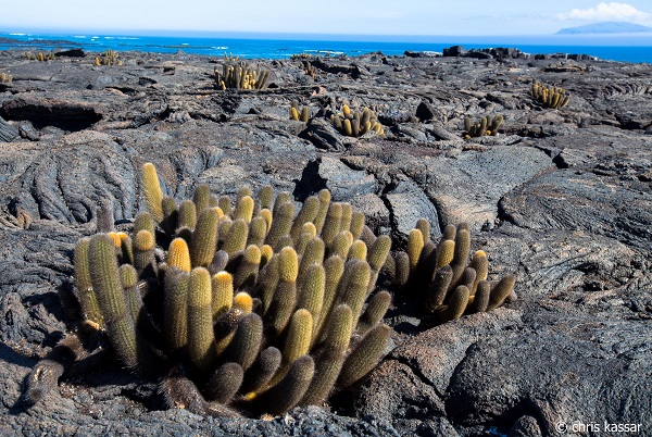 Though we tend to focus on wildlife, the plant communities of the Galapagos are remarkable. One of my favorite scenes was this one: lava cactus, backlit by golden light from the slowly setting sun, set against the stark backdrop of dark, wavy lava rock.
