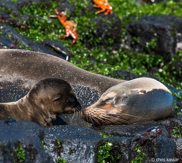 Sea lion with pup in the Galapagos.