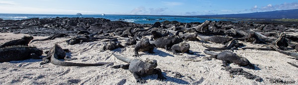 Marine iguanas stretch as far as the eye can see on the ocean's edge on Fernandina Island.