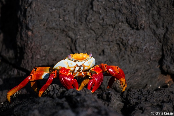 Thanks to its shockingly red top, the Sally Lightfoot crab stands out against the black lava rock found along many beaches.
