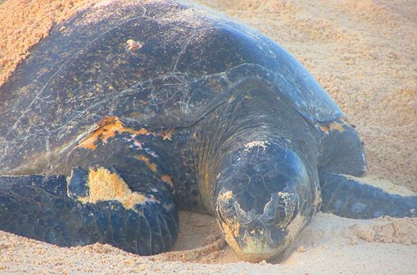 Turtle nesting in the Galapagos.