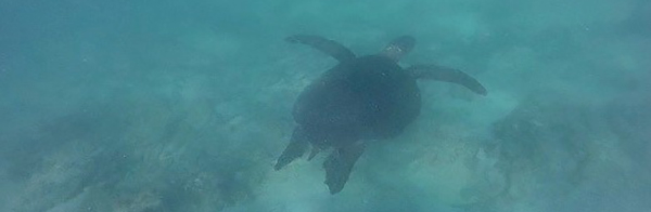 Turtle swimming in the Galapagos.