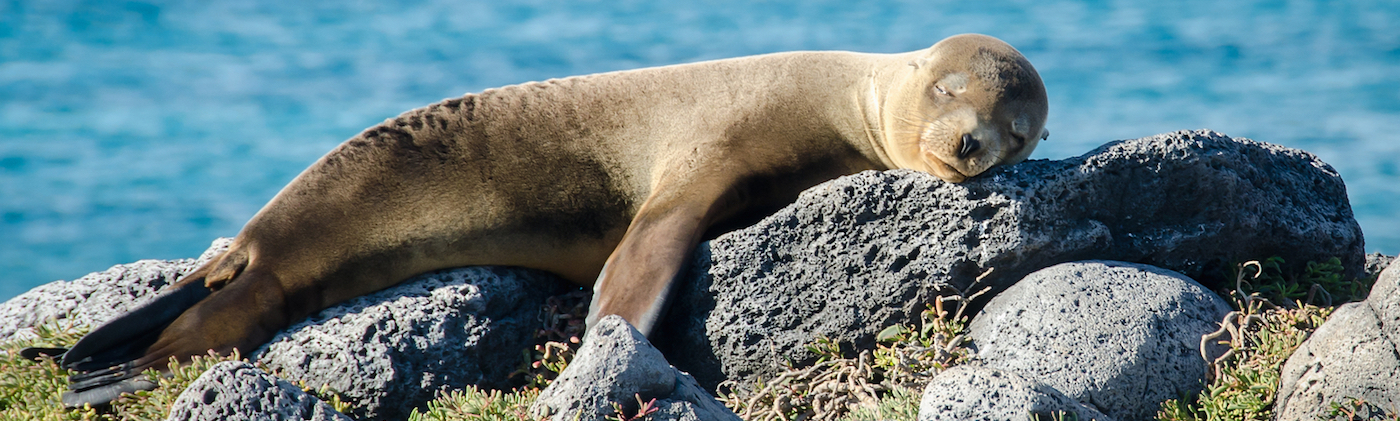Sea lion in the Galapagos.