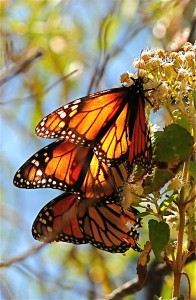 Monarchs sip nectar from flowers.