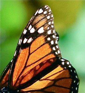 Close up of monarch wing.