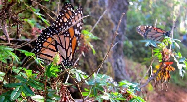 A monarch butterfly in Mexico.